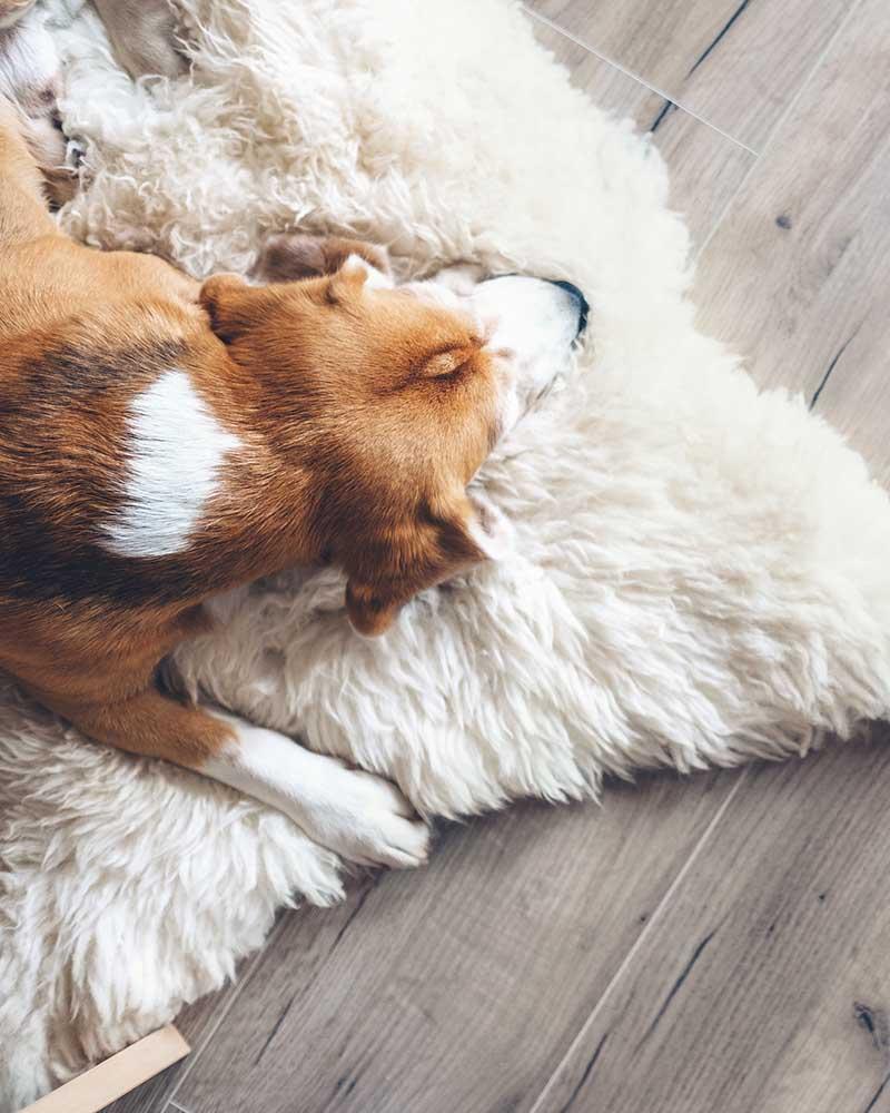 Beagle dog sleeps on sheepskin