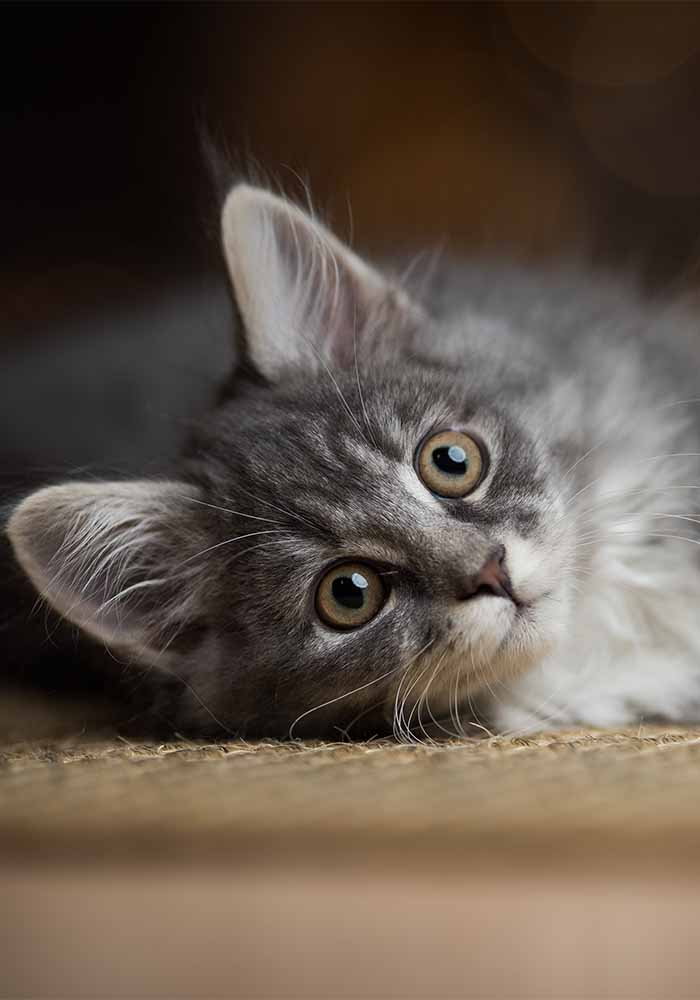 maine coon kitten Christmas portrait